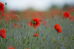 Poppies (Barbara Evans 7) Tags: uk day hampshire barbara poppies armistice on evans7
