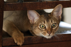 Abbassynian kitten (wietsej) Tags: zeiss cat kitten sony 135 18 za sonnar a900 13518 abbassynian wietsejongsma