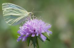 La piride de la rave  - Pieris rapae -  (michel lherm) Tags: papillons pierisrapae lpidoptres rhopalocres lapiridedelarave