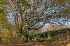 arbre remarquable (pertinal) Tags: nature automne bretagne promenade brest paysage arbre calme feuille fleuve finistere penfeld arbreremarquable