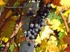 Bodensee Hinterland >  Lake of Constance inland > Bodensee - Lake of Constance > Shoots in autumn - Reben im Herbst (warata) Tags: germany deutschland reben wein trauben schwaben badenwürttemberg 2015 swabia süddeutschland weingarten southerngermany weinlaub wengert schwäbischesoberland oberschwabenupperswabia