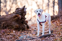 """I didn't do it"" (F.P Photo) Tags: tree puppy woods labrador yellowlab hiking smiles hike retriever trail backpacking stump labradorretriever tounge whitelab traildog"