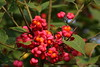 Autumn fruits : Spindle-tree (Marco Ottaviani on/off) Tags: plants nature fruit canon berries natura euonymus piante bacche poisonous frutto spindletree euonymuseuropaeus celastraceae fusaggine berrettadelprete velenoso evonimo marcoottaviani priestshat