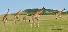 DSC_2903-b Wonderful scene of Africa as these Masai Giraffes walk across the Masai Mara, Kenya. (GavinKenya) Tags: africa wild nature animal june john mammal photography gavin photographer kenya african wildlife july grand safari dk naturephotography kenyasafari africansafari 2015 safaris africanwildlife africasafari johngavin wildlifephotography kenyaafrica kenyawildlife dkgrandsafaris africa2015 safari2015 johnhgavin