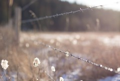 Far away (Tracey Rennie) Tags: winter snow fence ditch alberta barbedwire backlit shining goldenhour seedheads watervalley prairieclover