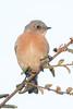 Western Bluebird, female (Garrett Lau) Tags: shoreline westernbluebird birds