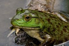 2016 Bull Frog 5 (DrLensCap) Tags: bull frog north park village nature center chicago illinois il animal amphibian robert kramer ngc coth5 specanimal