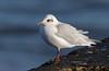 Med Gull (Simon Stobart) Tags: mediterranean med gull shore water northeastengland