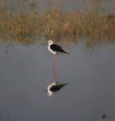 Black-winged Stilt (Sharjeel Ahmed Khan) Tags: grass black 55250 canon50d reflection water bird