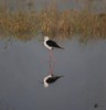 Black-winged Stilt (Sharjeel Ahmed Khan) Tags: grass black 55250 canon50d reflection water bird