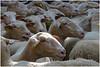 C'est qui ? Il est où ? - It's who ? Where is he ? (diaph76) Tags: extérieur france dordogne sarlat moutons sheep brebis troupeau herd têtes heads répétition laine wool