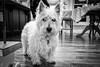 Winston (maxinneball) Tags: westie west highland terrier white dog animal
