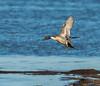 Pintail Drake (b88harris) Tags: pintail drake duck park national wildlife refuge light exposure sunlight sunshine tree nikkor nikon lens nature white tail naturethroughthelens