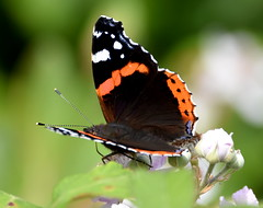 Last Summer. (pstone646) Tags: butterfly nature animal insect fauna wildlife closeup bokeh kent