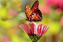 Gulf fritillary with bokeh (justkim1106) Tags: gulffritillary butterfly insect bokeh flower zinnia nature beyondbokeh