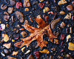 A Pin Oak leaf (hz536n/George Thomas) Tags: 2016 canon5d ef100mmf28lmacroisusm macro nature nik stillwater winter oklahoma leaf wet stones december copyright cs5 oak pinoak