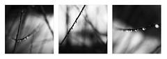 (Stephane Laborde) Tags: gouttes nb bw drops canon 6d 2470 f28 triptyque