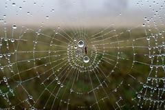 SPIN SPIN (scatrd) Tags: web rural country macro a6000 spiderwebs aberfoyle e30mmf35macro jasonbruth sonya6000 sony 2016 newsouthwales australia nsw au