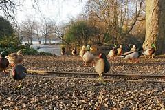 Queen's Park Chesterfield (Dun.can) Tags: queenspark chesterfield derbyshire winter duck mallard moorhen trees frozen park low birds