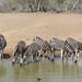 Plains Zebras (Equus quagga burchellii) drinking ...