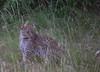 IMGP9701b (Micano2008) Tags: kenia africa pentax parquenacional masaimara mamifero leopardoafricano pantheraparduspardus