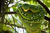 Emerald Tree Boa (andybicerra) Tags: flickrestrellas ngc emerald tree boa snake amazon jungle loreto iquitos peru wildlife wildlifephotography