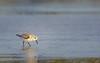 Sanderling (wn_j) Tags: nature naturephotography wildlife wildanimals songbirds birds birding barnegat shorebirds
