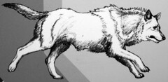 Reconstruction of Canis dirus (dire wolf) (Pleistocene, North America) 2 (James St. John) Tags: canis dirus dire wolf wolves mammal mammals fossil fossils pleistocene north america reconstruction drawing
