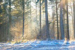 Winter / Hiver (tribsa2) Tags: winter hiver tree trees bos bomen forest foret
