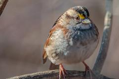 "White throated sparrow (""Bert"" Brady) Tags: whitethroatedsparrow beak feathers wildlife nature bird peacevalleynaturecenter outdoors hiking winter1617 pennsylvania buckscounty animal"