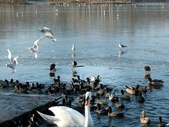 2017-01-21 Rieulay (22)f (april-mo) Tags: rieulay nord lesargales naturepark birds oiseaux lake lac reflection