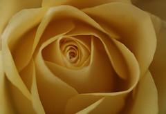 Golden yellow Rose (Rosemarie.s.w) Tags: rose yellowrose