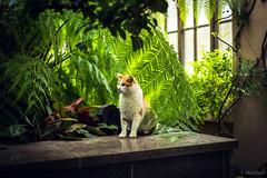 garden cat (Jen MacNeill) Tags: cats cat pet animal longwoodgardens pennsylvania pa kennettsquare feline garden ginger conservatory greenhouse fern ferns plants green eden