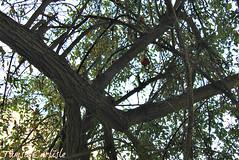 Pomegranate4 (tinlight7) Tags: pomegranate tree wadinakhar jebelshams oman fruit taxonomy:kingdom=plantae plantae taxonomy:clade=tracheophyta tracheophyta taxonomy:phylum=magnoliophyta magnoliophyta taxonomy:class=magnoliopsida magnoliopsida taxonomy:order=myrtales myrtales taxonomy:family=lythraceae lythraceae taxonomy:genus=punica punica taxonomy:species=granatum taxonomy:binomial=punicagranatum granatapfel רימוןמצוי magraner punicagranatum granadacordelina tsapyan delima romãzeira гранатобыкновенный гранатзвычайны 安石榴 nocuanazehacastilla انار taxonomy:common=granatapfel taxonomy:common=רימוןמצוי taxonomy:common=magraner taxonomy:common=pomegranate taxonomy:common=granadacordelina taxonomy:common=tsapyan taxonomy:common=delima taxonomy:common=romãzeira taxonomy:common=гранатобыкновенный taxonomy:common=гранатзвычайны taxonomy:common=安石榴 taxonomy:common=nocuanazehacastilla taxonomy:common=انار