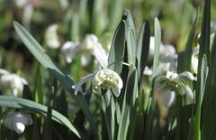 snowdrop #9 (streetr's_flickr) Tags: snowdrops springflowers garden flowercloseups hertfordshire stalbans