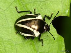 Shield bug, Stiretrus bifrenatus? (Ecuador Megadiverso) Tags: andreaskay ecuador hemiptera heteroptera scutelleridae pentatomomorpha shieldbug stinkbug truebug pentatomidae asopinae stiretrusbifrenatus stiretrus