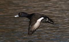 Tufted Duck (M) (kearneyjoe) Tags: tufted duck bowring park stjohns newfoundland