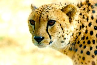 Male Cheetah, Asnaro of Yokohama Zoological Gardens : チーターのアスナロ(よこはま動物園ズーラシア)