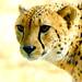 Male+Cheetah%2C+Asnaro+of+Yokohama+Zoological+Gardens+%3A+%E3%83%81%E3%83%BC%E3%82%BF%E3%83%BC%E3%81%AE%E3%82%A2%E3%82%B9%E3%83%8A%E3%83%AD%EF%BC%88%E3%82%88%E3%81%93%E3%81%AF%E3%81%BE%E5%8B%95%E7%89%A9%E5%9C%92%E3%82%BA%E3%83%BC%E3%83%A9%E3%82%B7%E3%82%A2%EF%BC%89