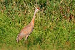 sandhill crane at Cardinal Marsh IA 854A7762 (naturalist@winneshiekwild.com) Tags: county cardinal crane reis iowa larry marsh sandhill winneshiek