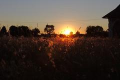 Sunset over fluffy thistles
