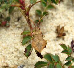Syromastus rhombeus - Les Blanches Banques Dunes, Jersey 2015c (Steven Falk) Tags: steven falk rhombic leatherbug rhombeus syromastus