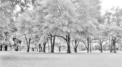The Wood Effect. (El efecto Wood). (Samuel Santiago) Tags: tree analog mediumformat orlando florida scenic 120film fineartphotography mamiyarb67 cypressgrovepark infraredfilm ilfordsfx200 manfrotto190xprob handheldlightmeter mamiyasekor50mmc gossensuperpilot 496rc2ballhead topazbweffects sammysantiago
