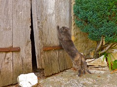 Tu m'ouvres ? (apolloniacyclade) Tags: door animal cat fun funny chat village gato lane porte ruelle provence