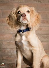 Atlas (darkbxcreative) Tags: dog puppy portrait pet outdoor rx100 sony strobist onelight speedlight iso800 160 pointshoot sb800 octabox 49 sonyrx100 zeiss carlzeiss dscrx100mkii