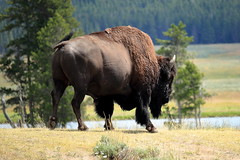 Yellowstone Bufallo (JimmyD.-USA) Tags: nature valley lamar yellowstone bufallo