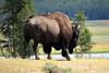Yellowstone Bufallo (JimmyD.-USA) Tags: nature valley lamar yellowstone bufallo