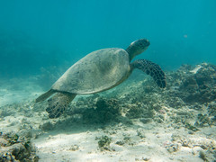 My Friends that Live in the Sea ([ CK ]) Tags: hawaii oahu honu cheloniamydas greenseaturtle mokuluaislands mokolua 2015 wwwchriskeeneycom chriskeeneyphotography lanikaimokes