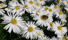 white aster in autumn - with bee (Jac Hardyy) Tags: flowers autumn wild white flower yellow insect petals blossom herbst blossoms stamens petal bee gelb stamen bloom blooms blte insekt chrysanthemum bltenbltter aster biene blten weis bltenblatt staubbltter spp herbstaster staubblatt kronbltter kronblatt