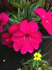 Wet Bloom (AndiVanPhotog) Tags: plant flower nature wet garden bloom iphone iphone6plus